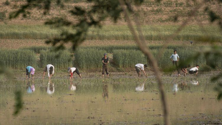 Des personnes en train de planter du riz dans un champ, à la périphérie de Kaesong, en Corée du Nord, le 2 juin 2017. (ED JONES / AFP)