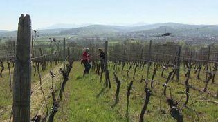 En France, le secteur de la viticulture souffre de la crise économique liée au coronavirus Covid-19. Les exportations sont au point mort et les ventes s'écroulent. La filière demande des aides. (FRANCE 2)