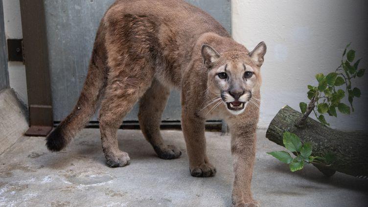 Un jeune puma est photographié au zoo du Bronx de New York (Etats-Unis), le 26 août 2021 (illustration). (JULIE LARSEN MAHER / BRONX ZOO)