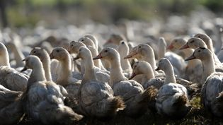 Des canards dans un élevage de Bénesse-Maremne (Landes), le 10décembre 2015. (IROZ GAIZKA / AFP)
