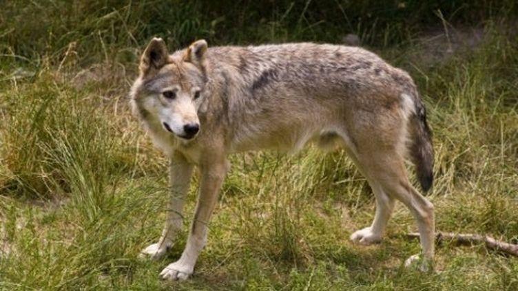 En 2010, 1 303 animaux on été tués par des loups. (Frilet Patrick)