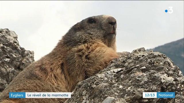 Hautes-Alpes : le réveil de la marmotte scruté par les touristes