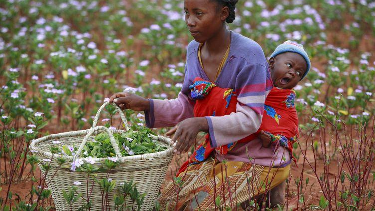 Une Malgache fait la cueillette de plantes médicinales dans la brousse. Ici, des Vinca Rosea pour des préparations thérapeutiques. (CYRIL RUOSO / BIOSPHOTO)