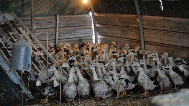 Un élevage de canards à Le Vignau (Landes), le 4 janvier 2017. (MAXPPP)