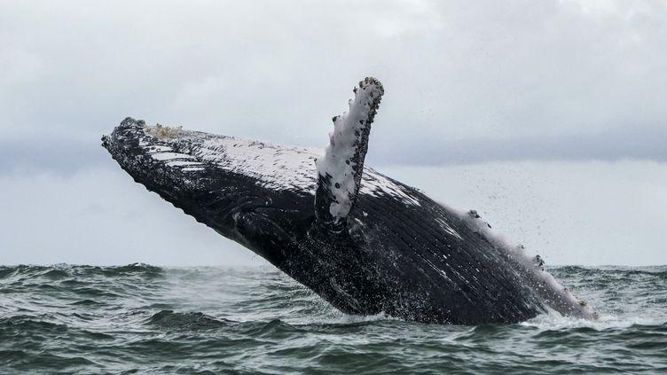 Une baleine à bosse, le 12 août 2018, dans leParc national naturel d'Uramba Bahia Malaga, en Colombie. (MIGUEL MEDINA / AFP)