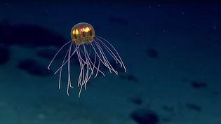 Capture d'écran d'une vidéo de méduse publiée le 25 avril 2016. (OCEAN EXPLORER / YOUTUBE)