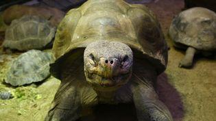 Vingt-neuf jeunes tortues des îles Galápagos ont été retrouvées, dissimulées dans un véhicule. (ARND WIEGMANN / X90184)