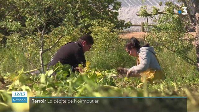 Agriculture : la bonnotte, une pomme de terre primeur d'exception cultivée à Noirmoutier