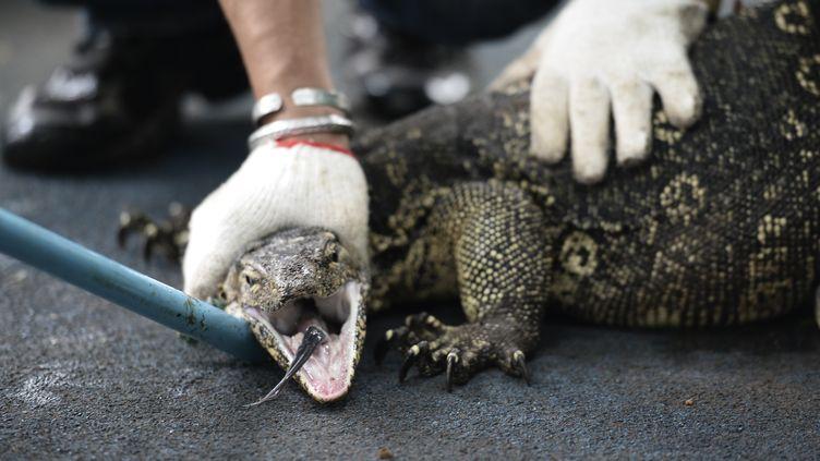 Un varan capturé à Bangkok (Thaïlande) le 20 septembre 2016. (MUNIR UZ ZAMAN / AFP)