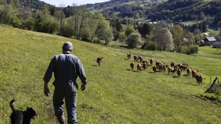 Un éleveur de bétail continue de travailler pendant la période confinement, massif de la Chartreuse, mai 2020. (VINCENT ISORE / MAXPPP)
