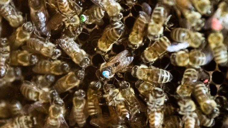 Des abeilles étudiéesà l'université Johannes Gutenberg de Mayence (Allemagne), le 24 mai 2019. (MAXPPP)