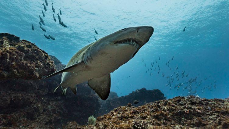 Un requin-tigre, au large de l'Afrique du Sud (photo d'illustration). (STEVE WOODS PHOTOGRAPHY / CULTURA CREATIVE / AFP)