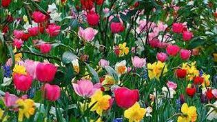 Des tulipes pour le 2e Rendez-vous des 60 printemps. (seniorinfo.com)