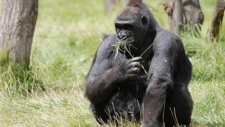 Gabon : rencontre avec Max Hurdebourg, l'homme qui cohabite avec les gorilles (FRANCE 2)