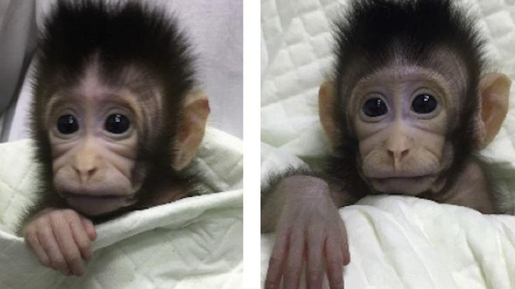 Source : Liu et al., Cloning of Macaque Monkeys by Somatic Cell Nuclear Transfer, Cell (2018). doi:10.1016/j.cell.2018.01.020 (reproduit avec l'aimable autorisation de Elsevier)