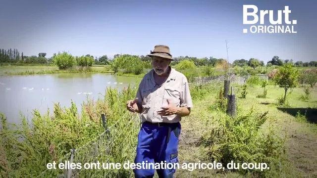 Dans les rizières de Bernard et Mathieu en Camargue, ce sont des canards qui remplacent les pesticides et permettent d'éviter les mauvaises herbes. Voilà comment.