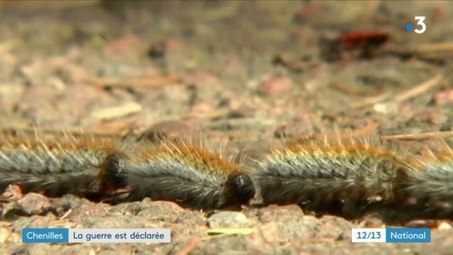 Nature : la guerre contre les chenilles processionnaires