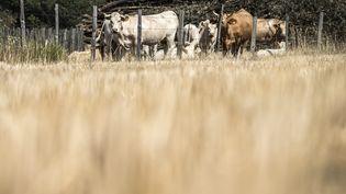 Des vaches dans une prairie jaunie par la sécheresse, à Rive-de-Gier (Rhône), le 17 juillet 2015. (JEAN-PHILIPPE KSIAZEK / AFP)