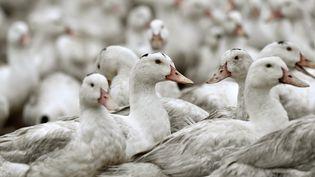 Un élevage de canards, le 22 février 2017, àBourriot-Bergonce (Landes). (GEORGES GOBET / AFP)