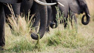 Des éléphants d'Afrique au parc national duBotswana (Afrique), en 2015. L'espèce pourrait disparaître à cause du réchauffement climatique. (AURELIEN MORISSARD / MAXPPP)