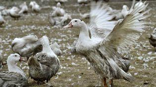 Des canards à Bourriot-Bergonce (Landes), le 22 février 2017. (GEORGES GOBET / AFP)