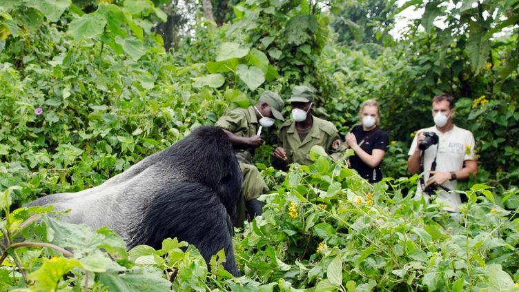 Des touristes observent une femelle gorille dans le Parc national desVirunga, le 3 septembre 2011. (LUANNE CADD / VIRUNGA NATIONAL PARK)