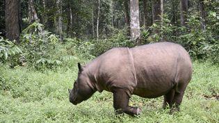 Un rhinocéros de Sumatra, le 8 novembre 2016, dans leKambas National Park en Indonésie. (GOH CHAI HIN / AFP)