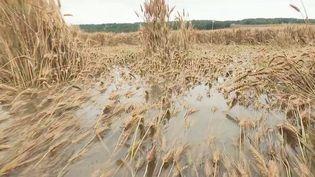 Après une sécheresse au printemps, les agriculteurs souffrent d'un excès de pluie. (CAPTURE ECRAN FRANCE 2)