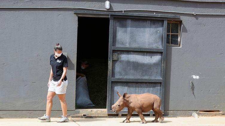 Le plus jeune pensionnaire de l'orphelinat pour bébés rhinocéros dans la province du Limpopo en Afrique du Sud. (SIPHIWE SIBEKO / REUTERS)