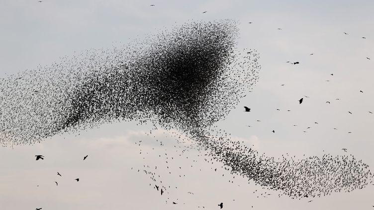 Un vold'étourneaux migrateurs vu dans le ciel près de la ville israélienne de Beer Sheva le 31 décembre 2015. (AMIR COHEN / REUTERS)