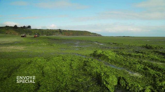 Envoyé spécial. Sur cette plage bretonne, jusqu'à 600 tonnes d'algues vertes ramassées par jour
