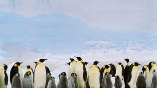Des manchots empereur, en Antarctique, le 13 novembre 2012. (IMAGE SOURCE / AFP)
