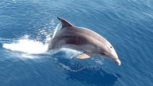 Un dauphin dans le golfe de Lava vers Ajaccio (Corse). (STEPHAN AGOSTINI / AFP)