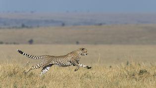 Un guépard court dans la savane, le 21 janvier 2016 à Masai Mara (Kenya). (MICHEL & CHRISTINE DENIS-HUOT / BIOSPHOTO / AFP)