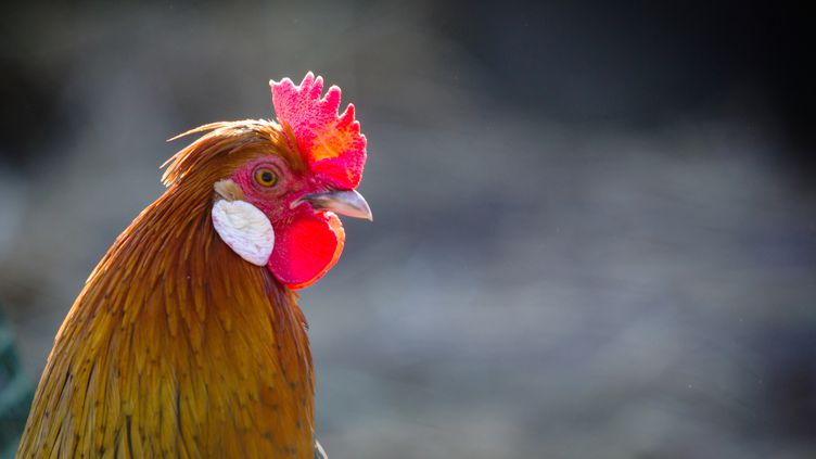 Un coq, dans les Landes (illustration). (LOIC VENANCE / AFP)