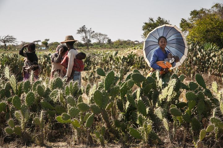 La feuille de cactus débarrassée de ses épines est devenue le symbole de la famine. C'est pour beaucoup d'habitants du sud de Madagascar l'ultime nourriture pour survivre. (RIJASOLO / AFP)