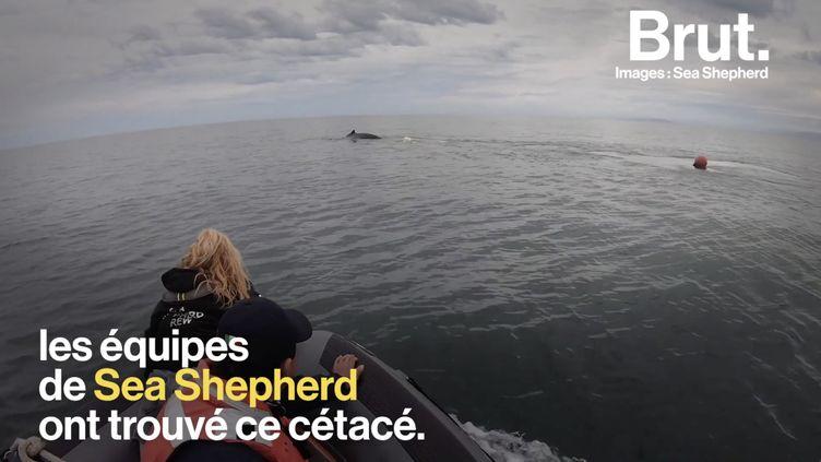 VIDEO. Une baleine piégée dans un filet, symbole d'une biodiversité en péril (BRUT)