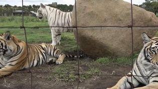 Tigre (FRANCE 2)