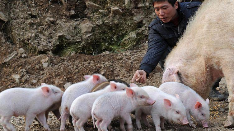 Un élevage de porcs en Chine. Photos d'illustration. (TAN JIN / MAXPPP)