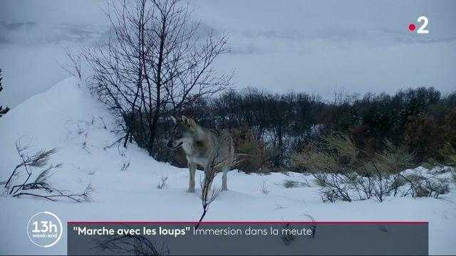 """Cinéma : """"Marche avec les loups"""", immersion dans la meute"""
