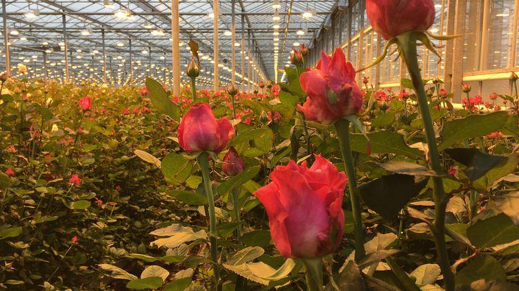 """Une serrede roses de""""Meijer roses"""" à Pijnacker, aux Pays-Bas, en février 2019. (GRÉGOIRE LECALOT / FRANCEINFO)"""