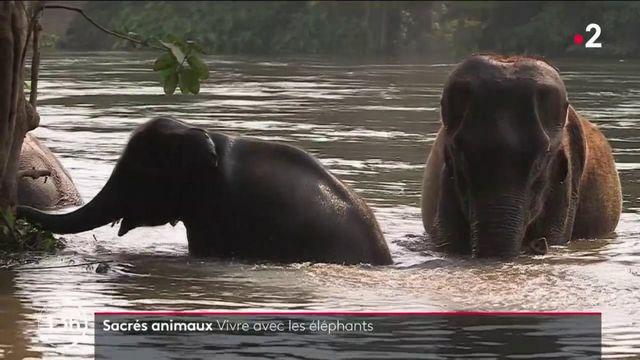 Thaïlande : la vie auprès des éléphants, animaux sacrés