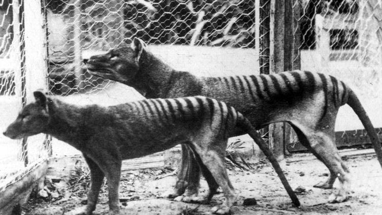 Des tigres de Tasmanie photographiés au zoo de Hobart, sur l'île de Tasmanie (Australie), en 1933. (UNIVERSAL HISTORY ARCHIVE / UNIVERSAL IMAGES GROUP EDITORIAL)