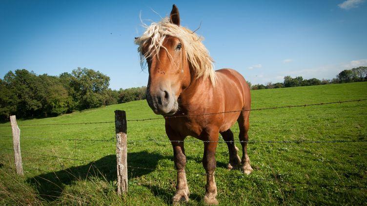 Un cheval comtois photographié dans le Doubs, le 14 septembre 2014. (MAXPPP)