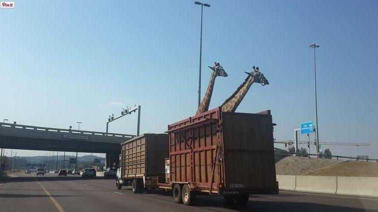 Photo prise par un automobiliste sur une autoroute d'Afrique du Sud. L'une des deux girafes est morte après avoir heurté un pont. (@THINUSB_ / TWITTER)