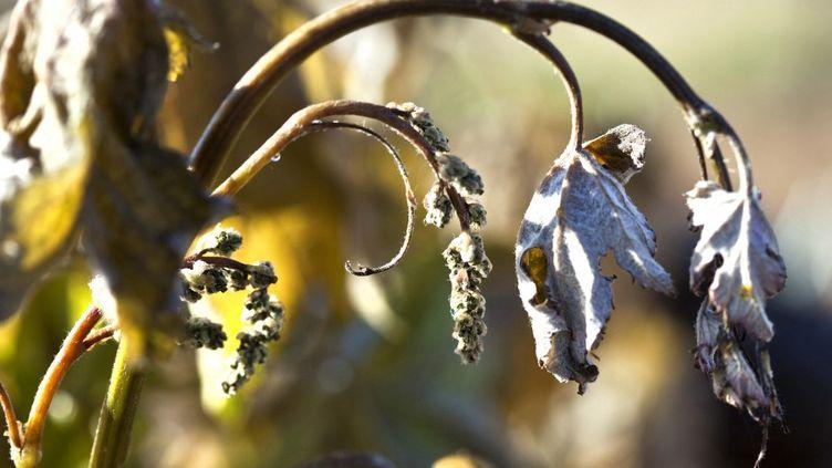 Une branche de vigne gelée. (PHILIPPE ROY / PHILIPPE ROY)
