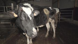 Une vachefistulée, aussi appelée vache à hublot. (ASSOCIATION L214)