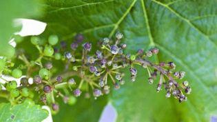 Du mildiou sur une grappe de raisin. (PHILIPPE ROY / PHILIPPE ROY)