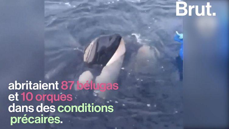 VIDEO. Des centaines de bélugas libérés dans les eaux russes (BRUT)