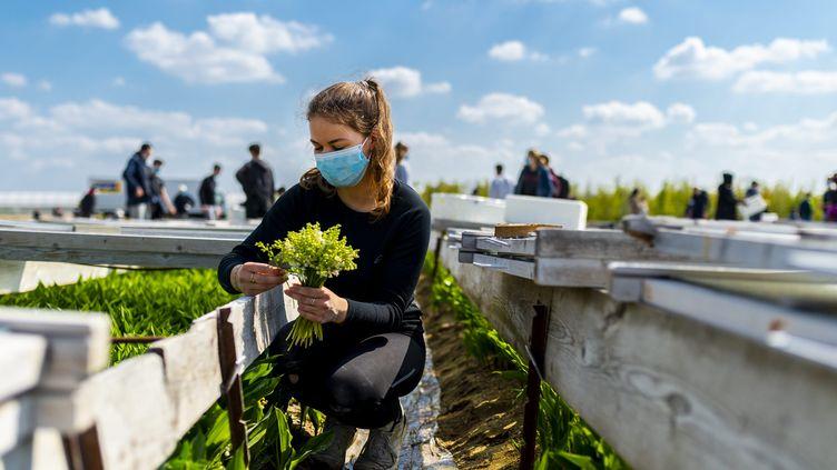 Les premières récoltes de muguet ont commencé àSaint-Julien de Concelles (Loire-Atlantique), le 19 avril 2021. (OLIVIER LANRIVAIN / MAXPPP)
